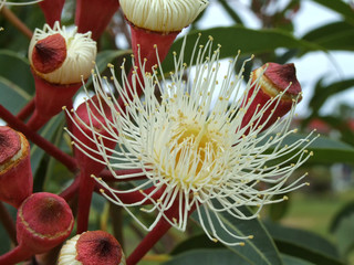 White Eucalyptus Flower