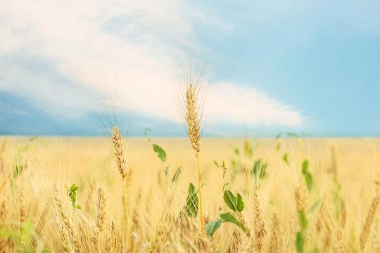 Wheat field in summer day