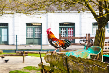 Countryside background with colorful beautiful brown, black and white rooster in the village yard