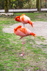 Two birds of Greater, American or Caribbean Flamingo sleeping