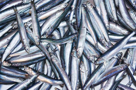 Fresh anchovies from Mediterranean sea