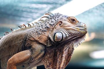 live exotic iguana