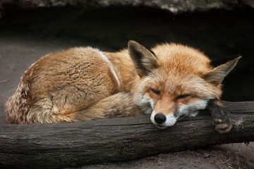 Wall Mural - Red fox (Vulpes vulpes).