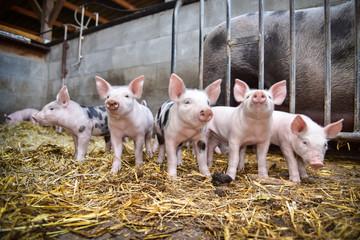 Bioschweine - 5 neugierige Ferkel im Strohstall