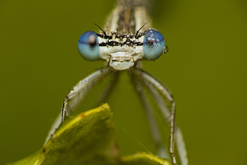 Beautiful dragonfly on the leaf . Insect with drops of water on the eyes on the green background , macro