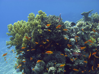 Coral and fish in the Red Sea, Egypt.