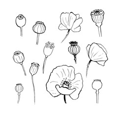 Black poppies isolated on a white background