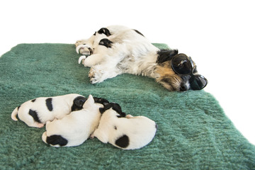 Cool Jack Russell with puppies - 6 days old