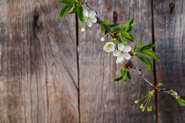 Cherry blossoms against a background of a wooden fence. White spring flowering trees. Space for text.