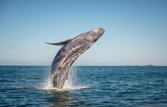 Happy whale breaching