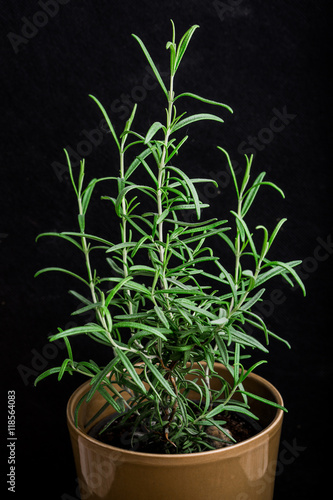 Rosemary plant in a flowerpot on a black background