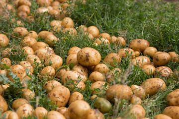 new potatoes on the grass