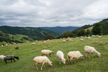Owce na górskiej polanie, Gorce, Ochotnica Górna