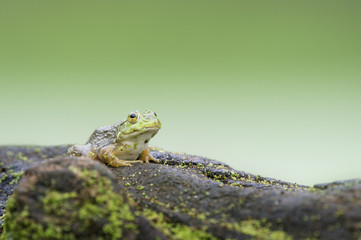 A medium sized green frog sits on top of a log covered in duckweed with a smooth green background.
