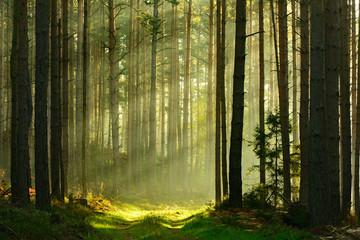 Footpath through Spruce Tree Forest Illuminated by Sunbeams through Fog