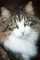 Maine coon domestic cat. Beautiful long hired cat, a soft focus window light shot of a brown, white and black domestic cat in a portrait style on a dark background,