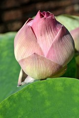 early morning lotus flower