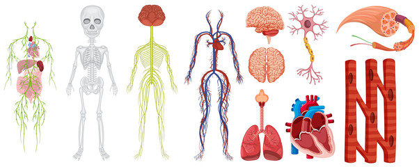 Different systems in human body