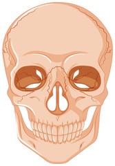 Cracked skull on white background