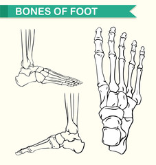 Diagram showing bones of foot