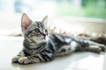 cut cat / American short hair cat