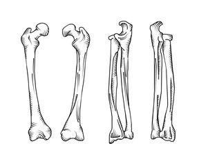 Hand drawn realistic human bones.