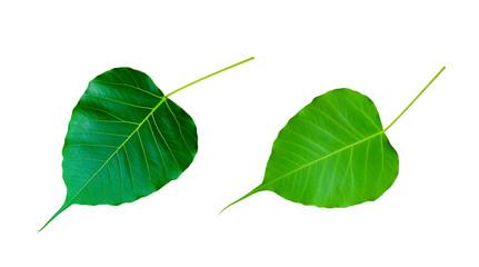 Bodhi Tree leaf isolated on white background.