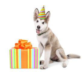 Cute Malamute puppy with colorful party hat and gift box isolated on white