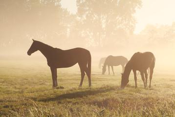 Wall Mural - few horses grazing om pasture during foggy sunrise