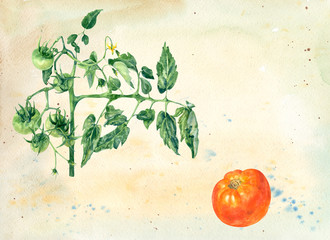 Composition with single red tomato and green tomatoes on a branch, background grunge, watercolor painting, vintage