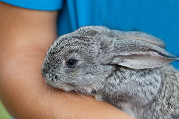 Cute baby rabbit in hand. Fluffy gray bunny texture skin. soft focus
