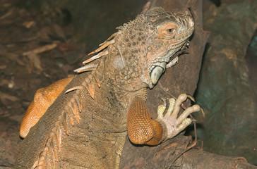 Ritratto di un'iguana