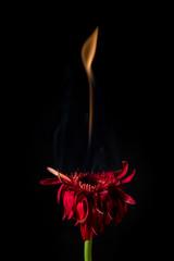red gerbera on fire