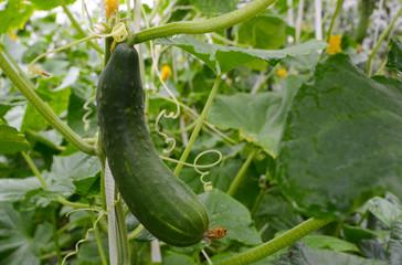 Organic cucumber growing in the garden
