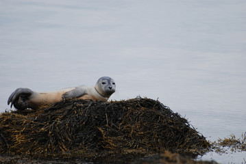 Harbor Seal Pup Perched on a Rock