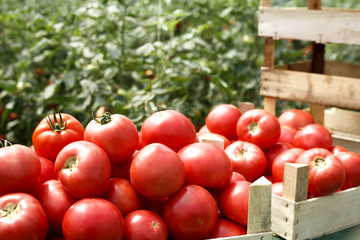 fresh organic tomatoes in a crate