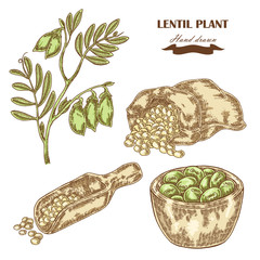 Hand drawn lentil plant. Wooden scoop with beans. Vector