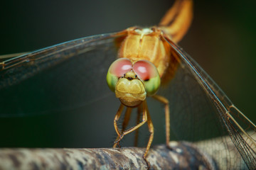 Dragonfly , insect,animal.