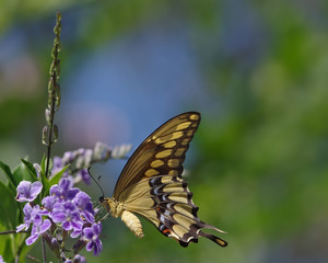 Swallowtail butterfly in a garden.