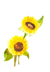 Sunflowers on white, watercolor illustrator