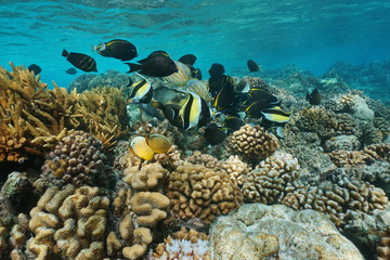Shallow coral reef with shoal of tropical fish underwater sea, Rangiroa lagoon, Pacific ocean, French Polynesia
