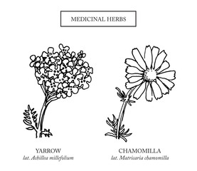Yarrow and chamomile flowers. Hand drawn medicinal plants. Organic healing wild flowers. Vector botanical illustrations. Engraving floral sketches.