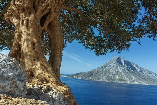 South European landscape with huge ancient olive tree and sea view on Telendos island
