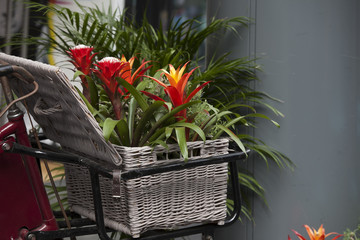 Billbergia Kyoto Bromeliad flowering and ornamental plants. ornamental red color a flowering plant in a wicker basket at the entrance to the store