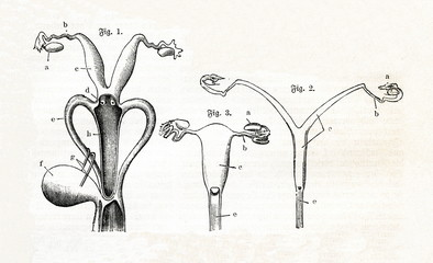 Uteri of kangaroo, viverra and cercopithecus (from Meyers Lexikon, 1895, 7 vol.)