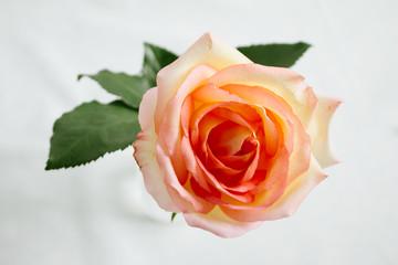 Pink-orange rose