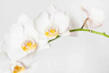 Spoed Fotobehang Bloemen Phalaenopsis orchid branch white on a white background