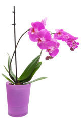 Pink purple orchid in pink pot on isolated white background. Ima
