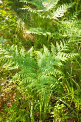 great green bush of fern in the forest.