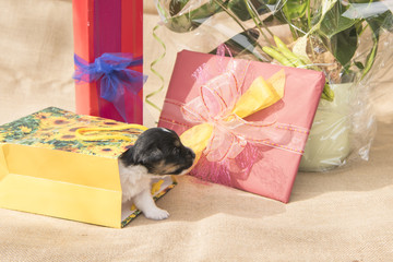 Jack Russell puppy with gifts